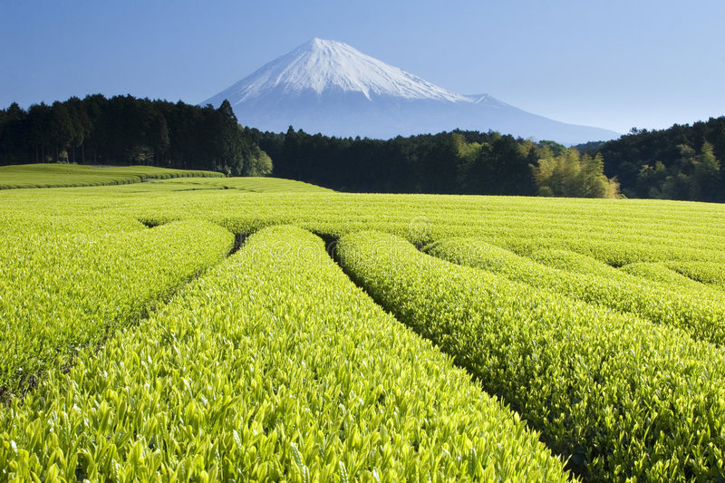 Green Tea Fields V. Fresh Green tea fields spread out below Mount Fuji