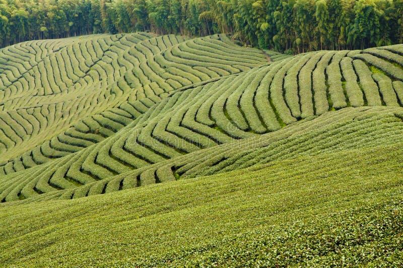 Green tea garden royalty free stock photos
