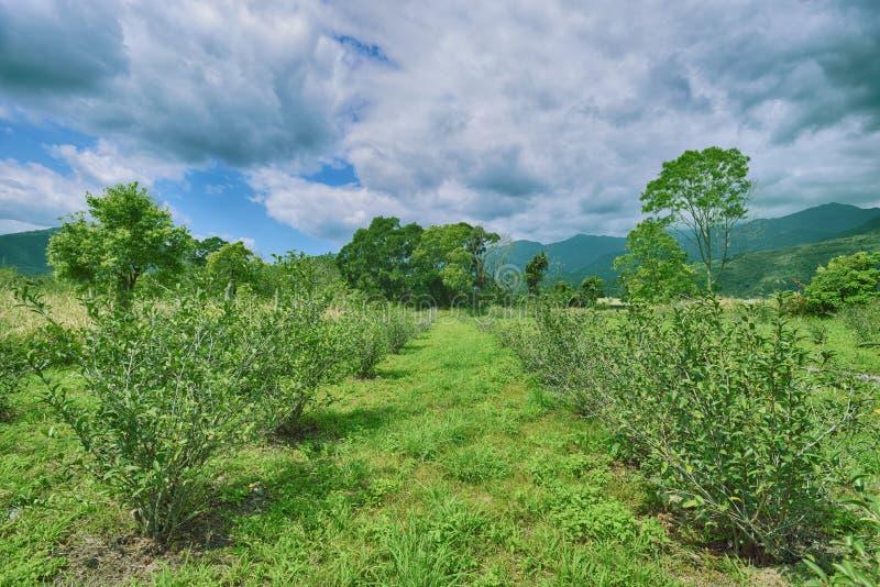 Green tea garden stock photos