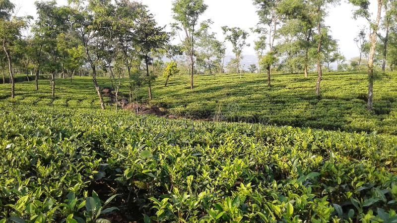 Green Tea Garden and Some Trees royalty free stock image