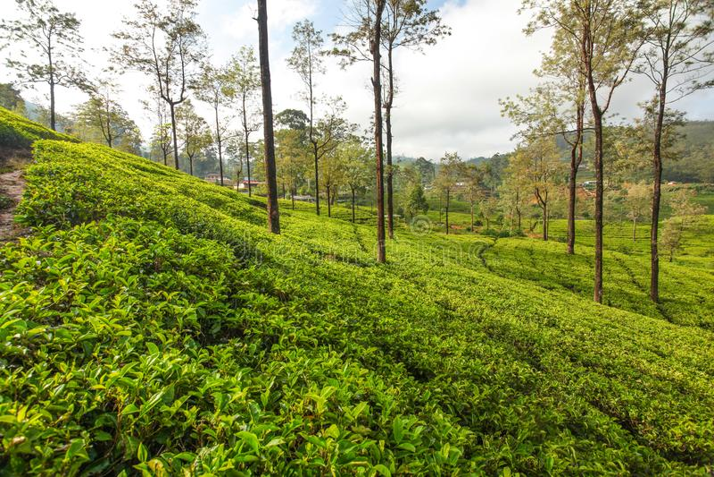 Green tea gardens with some trees, lit by morning sunlight. Kandy, Sri Lanka royalty free stock photos