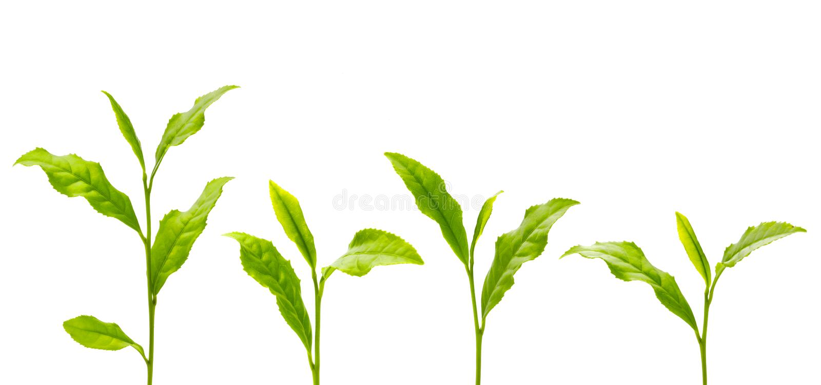 Green tea leaf royalty free stock images