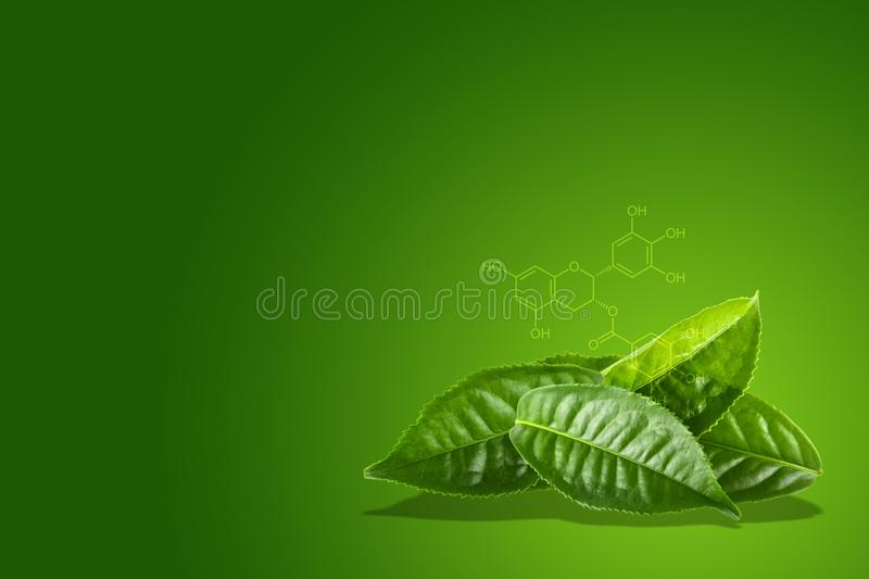 Green tea leaf with the chemical formula of EGCG royalty free stock images