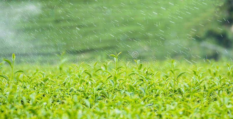 Green tea leaf with dew in Thailand stock images