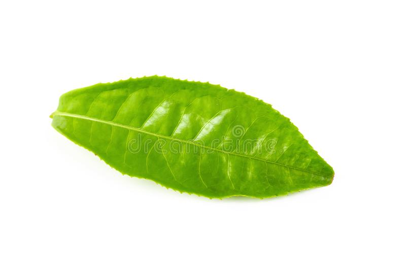 Green tea leaf isolated over white background. Green tea leaf isolated on white background stock photos