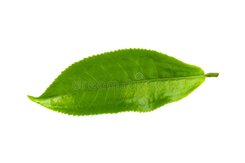 Green tea leaf isolated over white background. Green tea leaf isolated on white background aromatic basil basilicum beverage branch bud closeup drink flora food royalty free stock photos