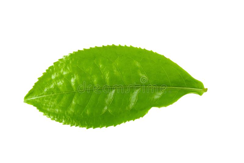 Green tea leaf isolated over white background. Green tea leaf isolated on white background, aromatic, basil, basilicum, beverage, branch, bud, closeup, drink stock photography