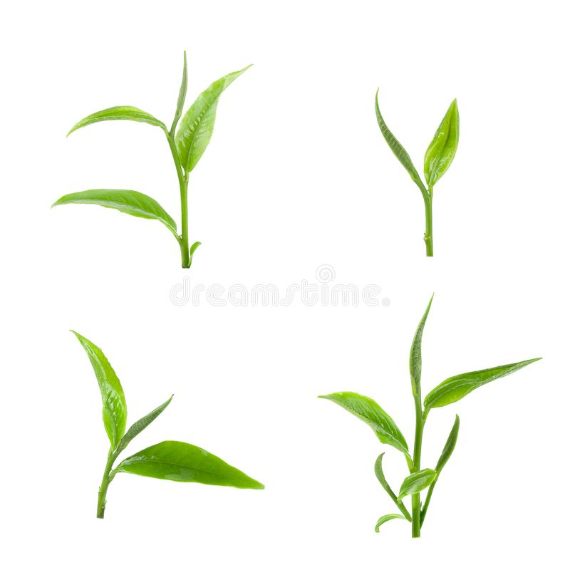 green tea leaf isolated on white background. stock photos