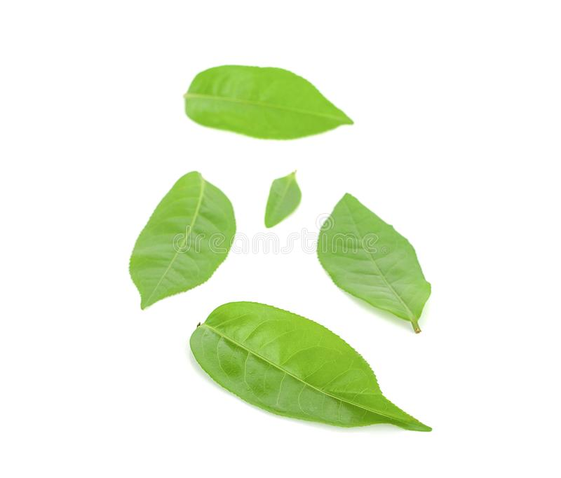 Green tea leaf isolated on white background stock photography