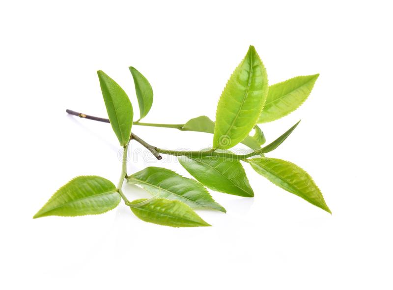 Green tea leaf isolated on white background royalty free stock images
