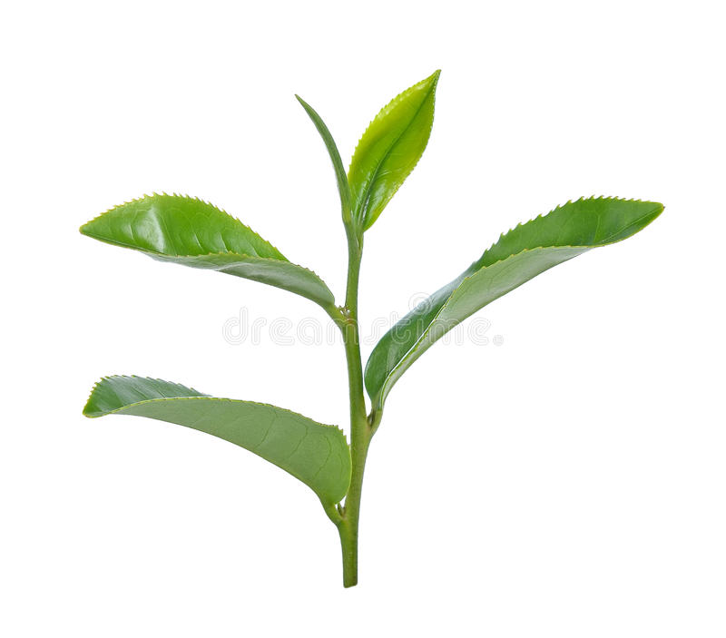 Green tea leaf isolated on white background royalty free stock photo
