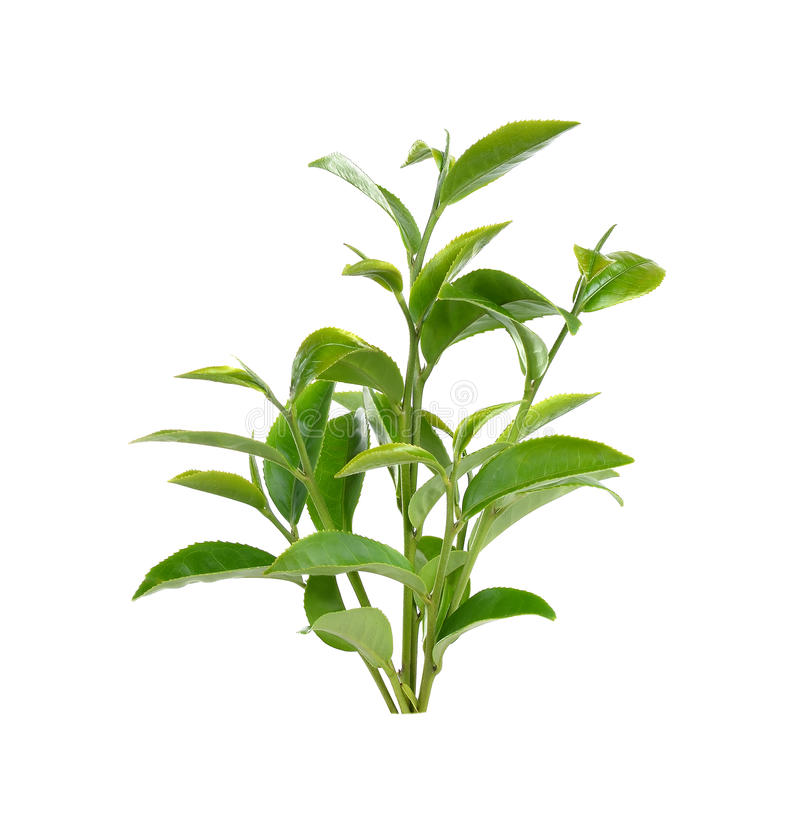 Green tea leaf isolated on white background.  royalty free stock photos