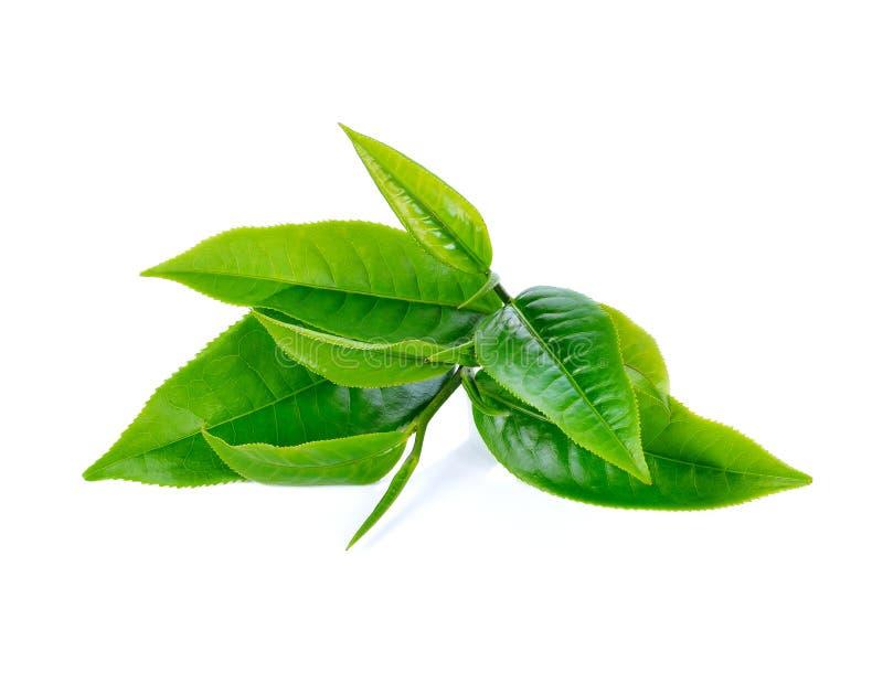 Green tea leaf stock image