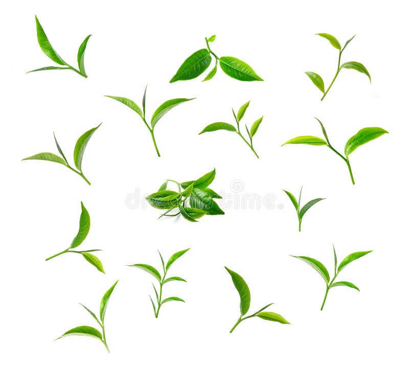 Green tea leaf isolated white background stock images