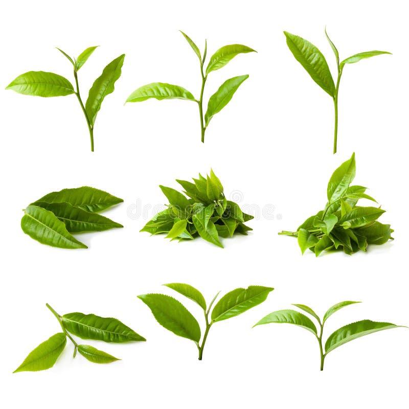 green tea leaf isolated on white background stock photos