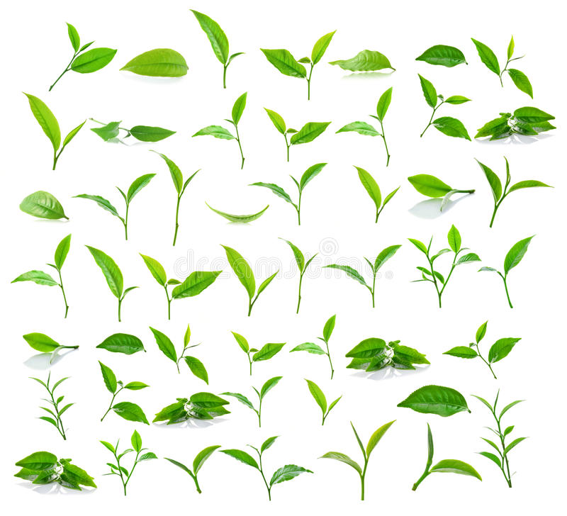 Green tea leaf isolated on white background. stock images