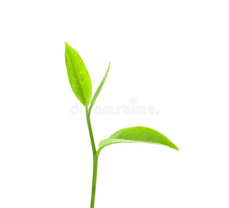 Green tea leaf isolated on white background royalty free stock photography