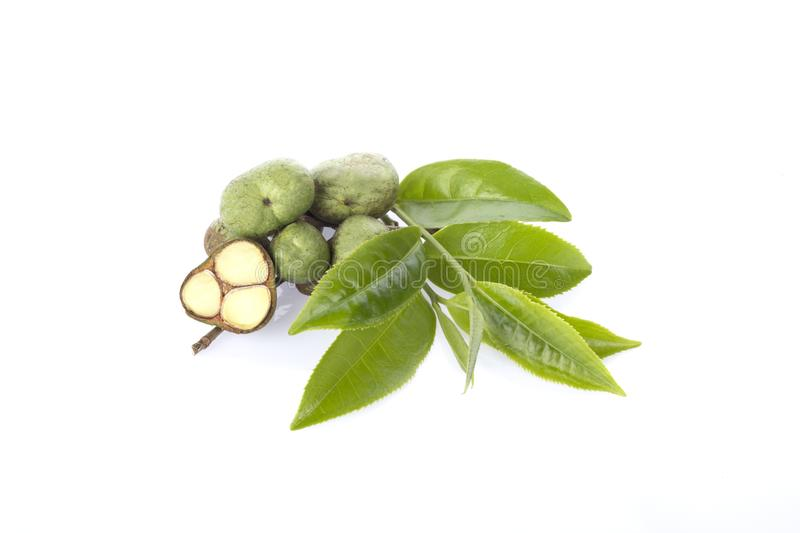 Green tea leaf with seed. On white background royalty free stock image