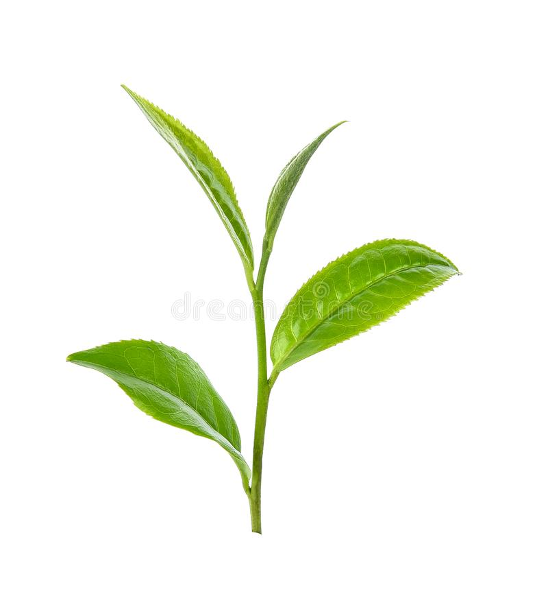 Green tea leaf on white background royalty free stock photos