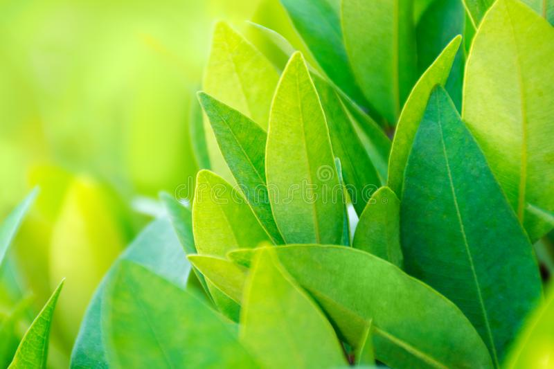 Green tea leaves background. Fresh tea bud and leaves stock photography