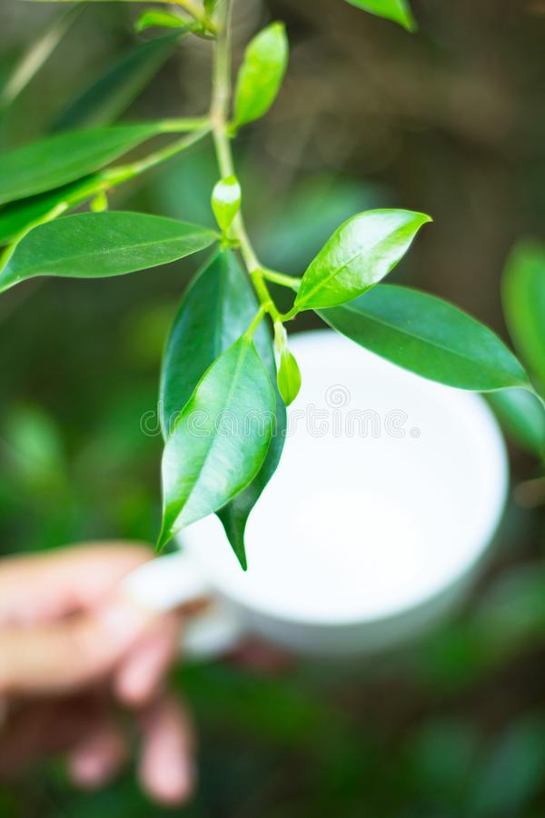 Green tea leaves with hand holding tea cup stock photography
