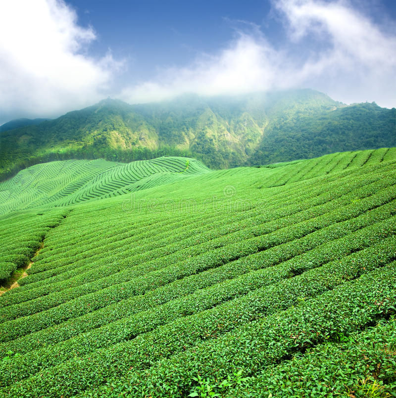 Green tea plantation stock images