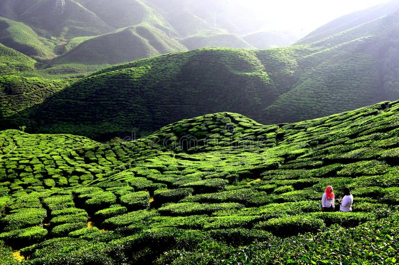 Green tea plantation in Cameron Highland royalty free stock images