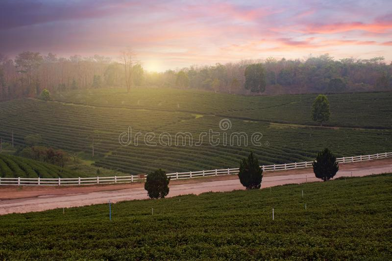 Green tea plantation field landscape with sunset in Chiangrai. Thailand royalty free stock photos