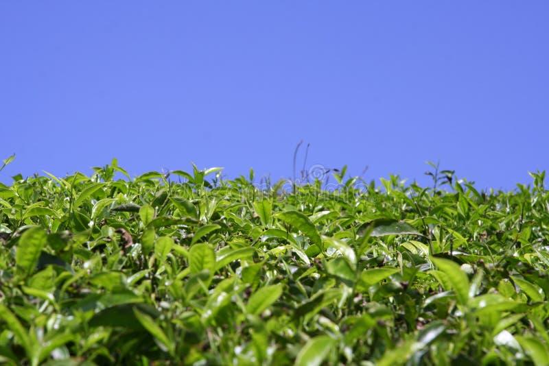 Green Tea Plantation Kerala Stock Photo