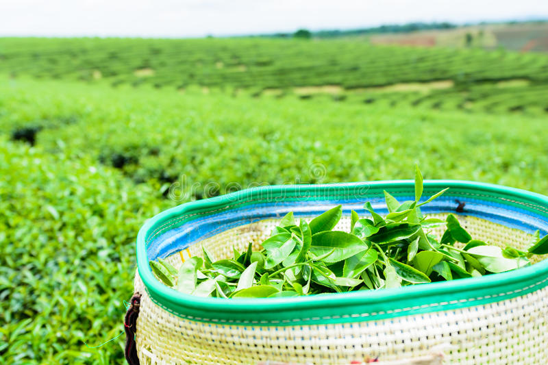 Green tea plantation landscape, green tea in basket. royalty free stock images