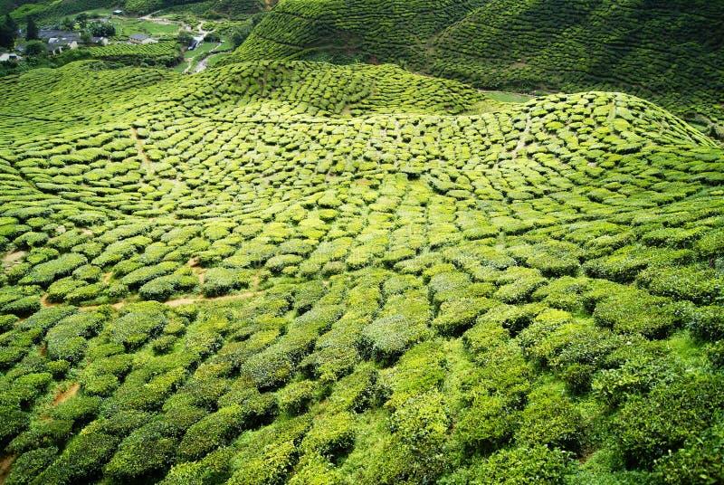 Green tea plantations Cameron Highlands stock photo