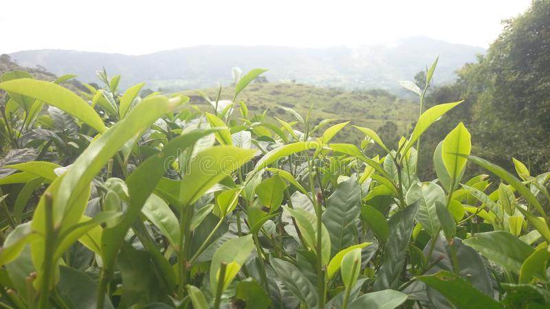 Green tea in sri lanka royalty free stock photo