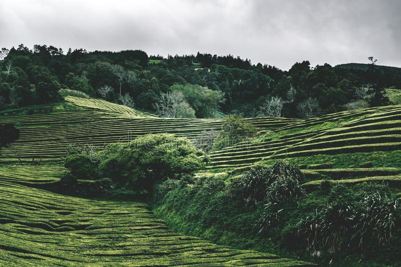 Green tea terrace plantation Gorreana in fog from above, drone shot, Azores islands. The oldest, and currently only, tea stock photo