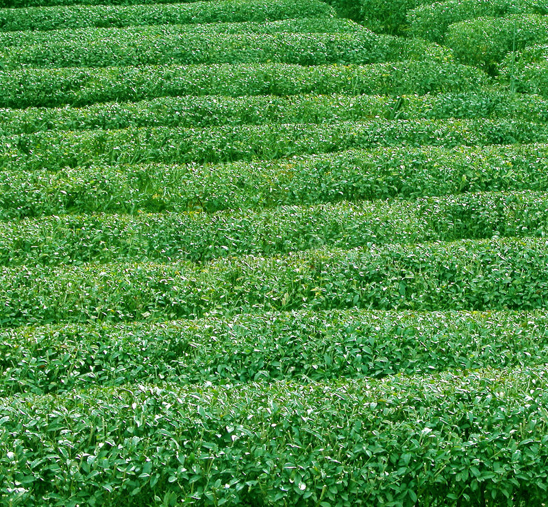Download Green tea texture stock image. Image of japanese, harvest - 199549