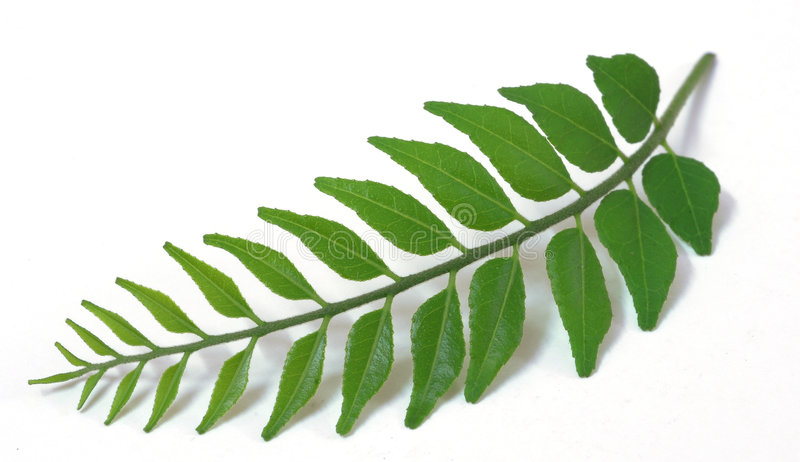 Green Tender Curry Leaves Isolated stock photography