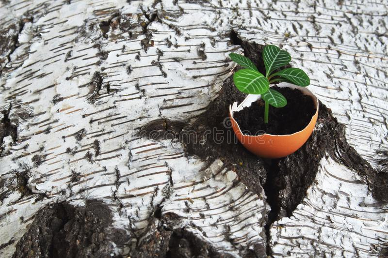 Fragile tender sprout in eggshell on old rough damaged birch bark. Symbolic concept - revival of life royalty free stock photo