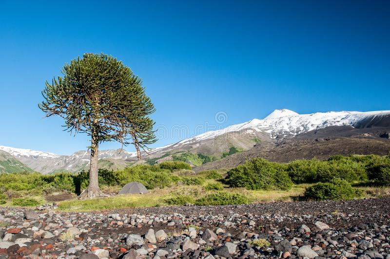 Green tent camping under huge tree of Araucaria araucana and the views of the desert landscape Antuco volcano black volcano royalty free stock photo