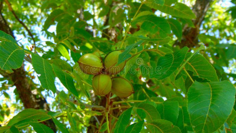 Texas Green Pecans on Tree. Green Texas pecans on tree royalty free stock images