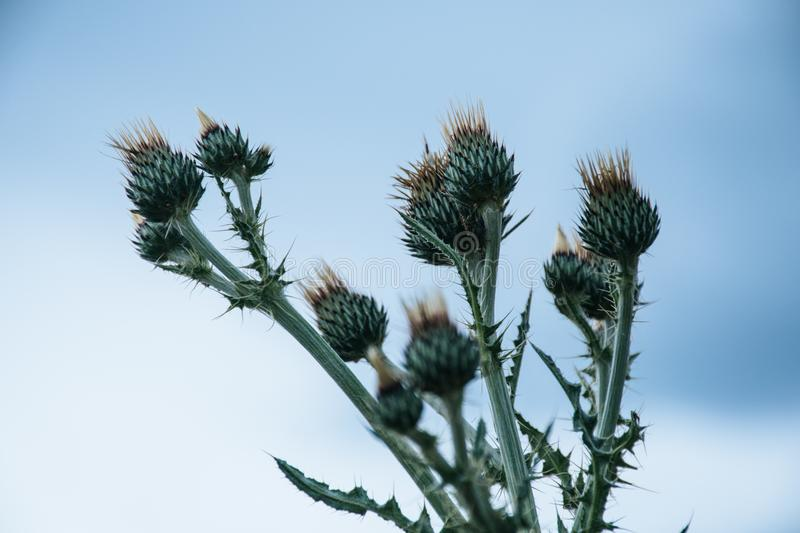 Green Thistle Flower Buds Pin Bloom at Daytime royalty free stock photography
