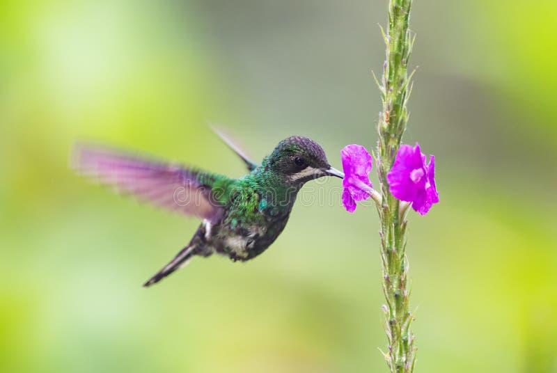 Green Thorntail - Discosura conversii stock photos