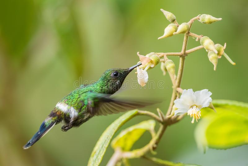 Green Thorntail - Discosura conversii stock photography