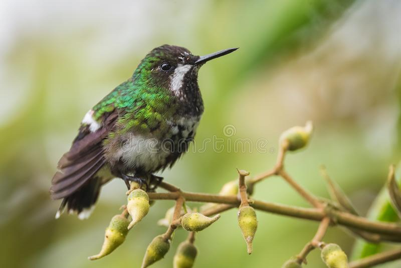 Green Thorntail - Discosura conversii royalty free stock images