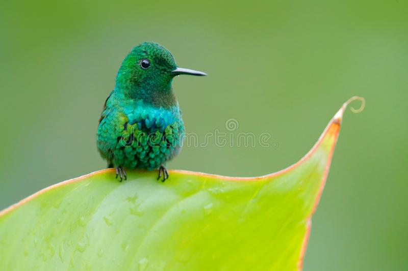 Green Thorntail, Discosura conversii, La Paz Waterfall Garden, Costa Rica. Hummingbird with clear green background. Wildlife scene stock photos