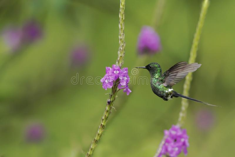 Green Thorntail, hovering next to violet flower in garden, bird from mountain tropical forest, Costa Rica, natural habitat. Beautiful hummingbird, wildlife stock photo