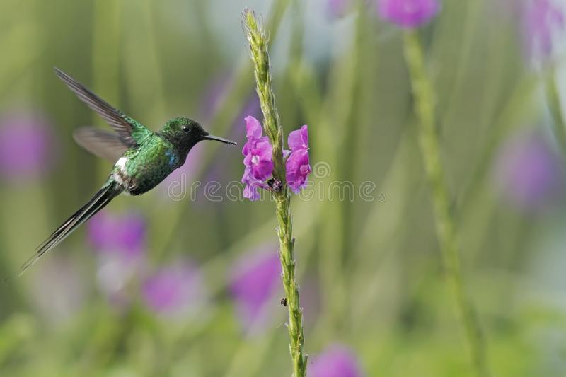 Green Thorntail, hovering next to violet flower in garden, bird from mountain tropical forest, Costa Rica, natural habitat. Beautiful hummingbird, wildlife stock photography
