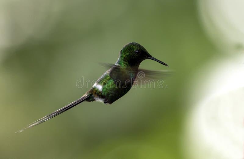 Green Thorntail hummingbird in flight, Ecuador stock image