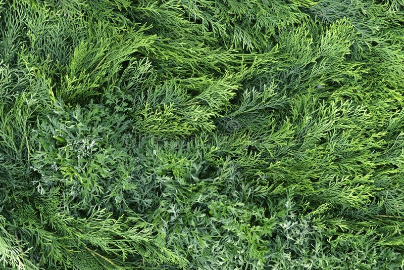 Green thuja branches close up. Bright green background from natural plants and branches of coniferous trees stock images