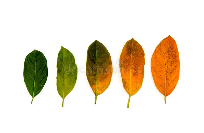 Green to yellow leaf flat lay on white background. Natural color gradation of tree leaf. From summer to autumn concept. Aging fading idea. Tree leaf color stock photo
