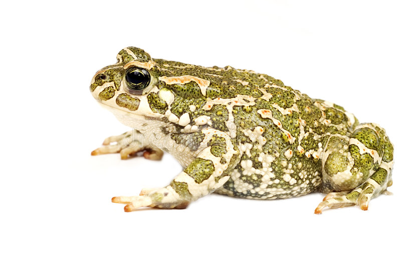 Green toad. Or Big frog isolated on white stock images