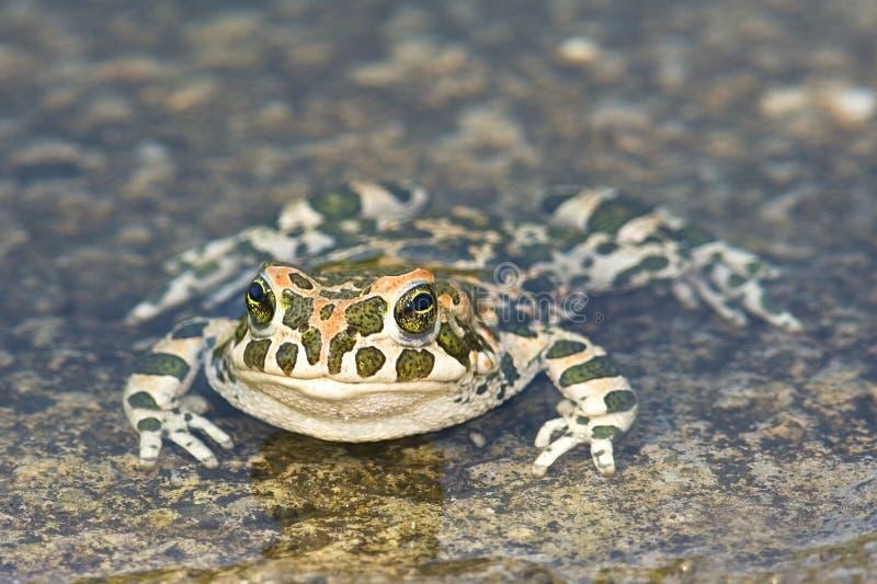Download Green Toad (Bufo Viridis) Royalty Free Stock Image - Image: 14542326